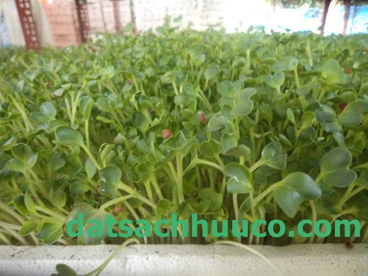 đất sạch Namix trồng rau mầm