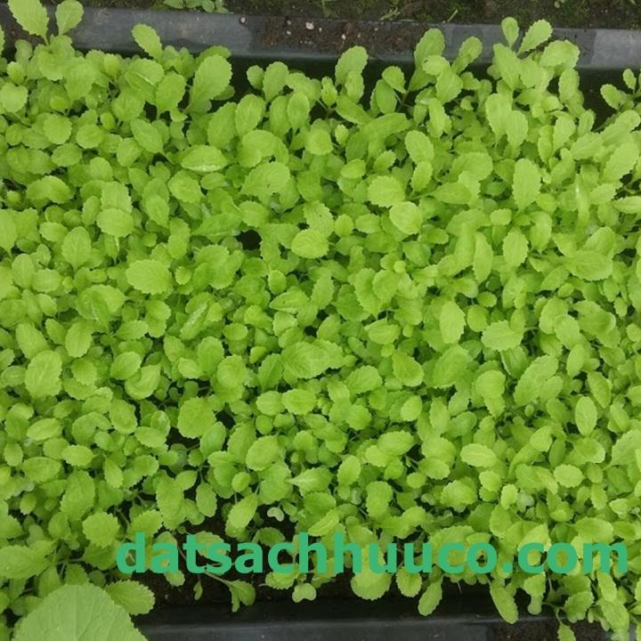 Một số loại rau dễ trồng tại nhà