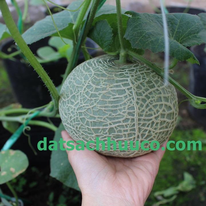 Hướng dẫn bạn cách trồng dưa lưới tại nhà