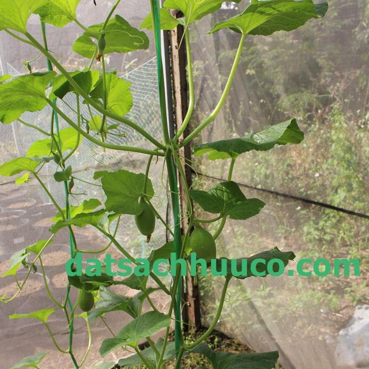 Cách trồng dưa hoàng kim. Đất sạch trồng cây Namix
