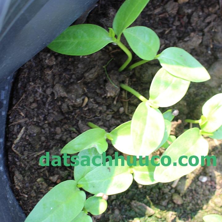Cách chăm sóc rau mồng tơi trồng chậu tại nhà