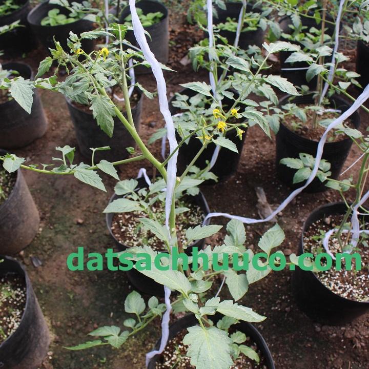 Đất sạch Namix trồng cây. Cách chăm sóc cà chua bi