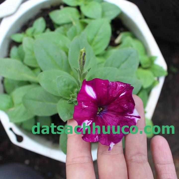 Kĩ thuật trồng hoa Dạ yến thảo rũ với đất sạch Namix