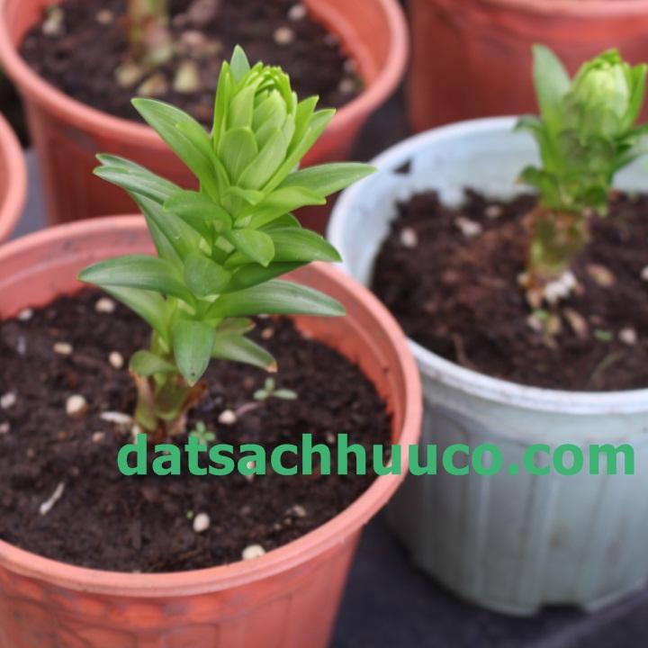 Cách trồng và chăm sóc hoa ly lùn chơi Tết