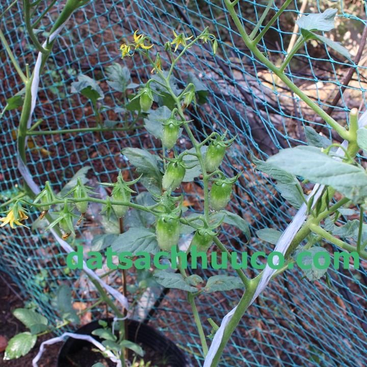 Cách trồng cà chua bi với đất sạch Namix
