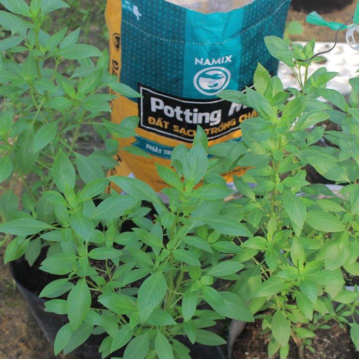 Cách trồng cây húng quế trong chậu cho thu hoạch quanh năm