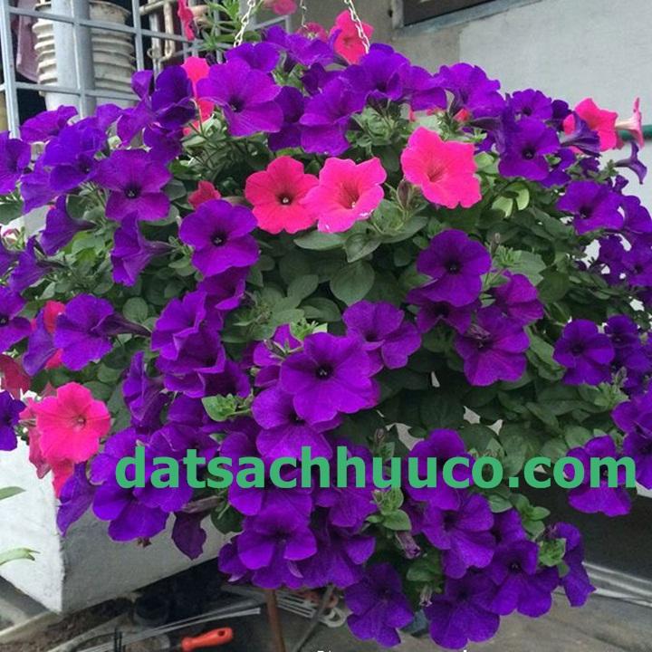 Cách trồng hoa dạ yến thảo rũ. Đất sạch trồng hoa Namix