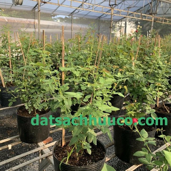 Giá thể trồng hoa hồng giúp cây phát triển tốt, nhiều hoa
