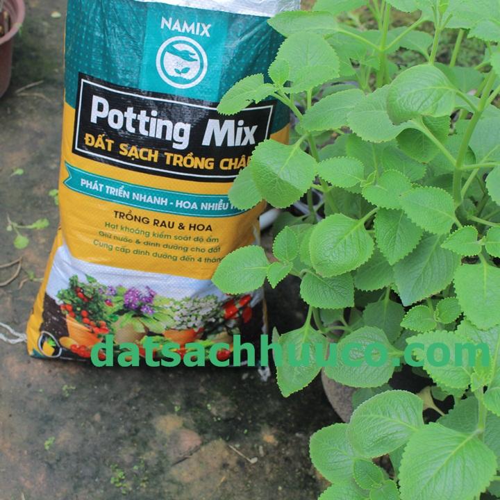 Cách chăm sóc cây húng chanh trồng chậu