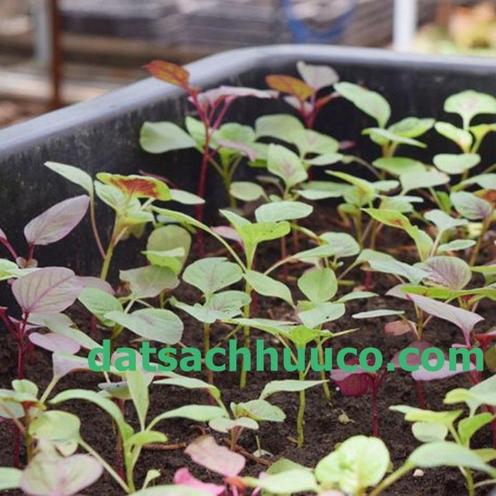 Cách trồng rau dền với đất sạch Namix