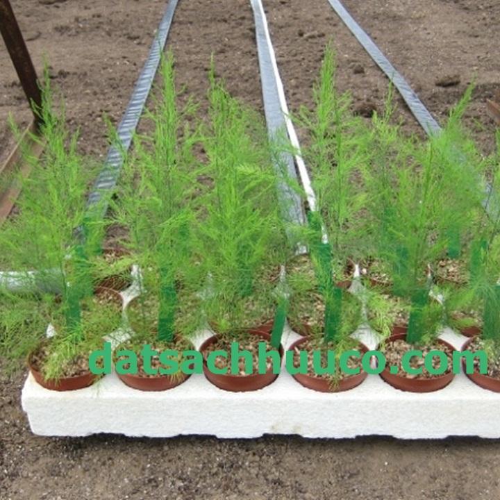 Kĩ thuật trồng măng tây. Đất sạch trồng rau Namix