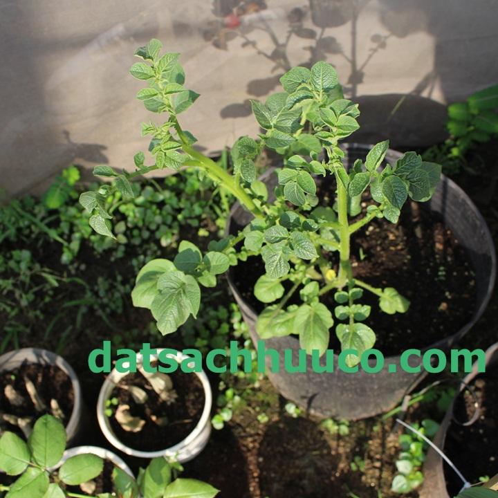 Đâu là đất hữu cơ tốt để trồng khoai tây trong chậu