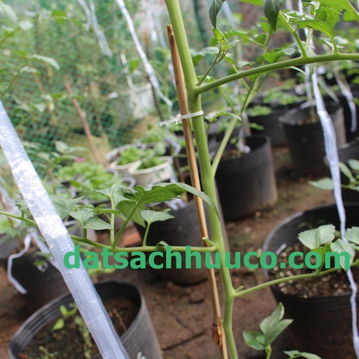 Cách cắt tỉa cành cà chua bi. Đất sạch Namix trồng hoa