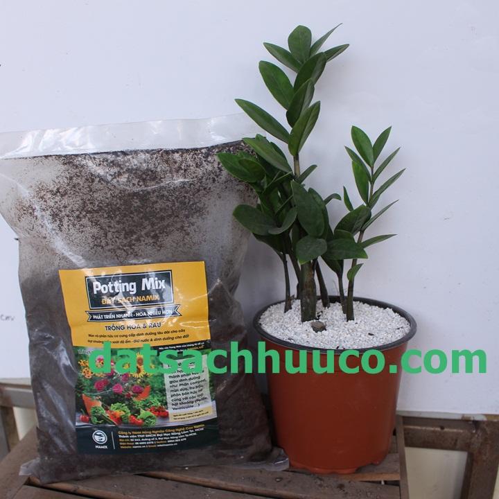 Cách trồng cây kim phát tài đón tài lộc với đất sạch trồng chậu