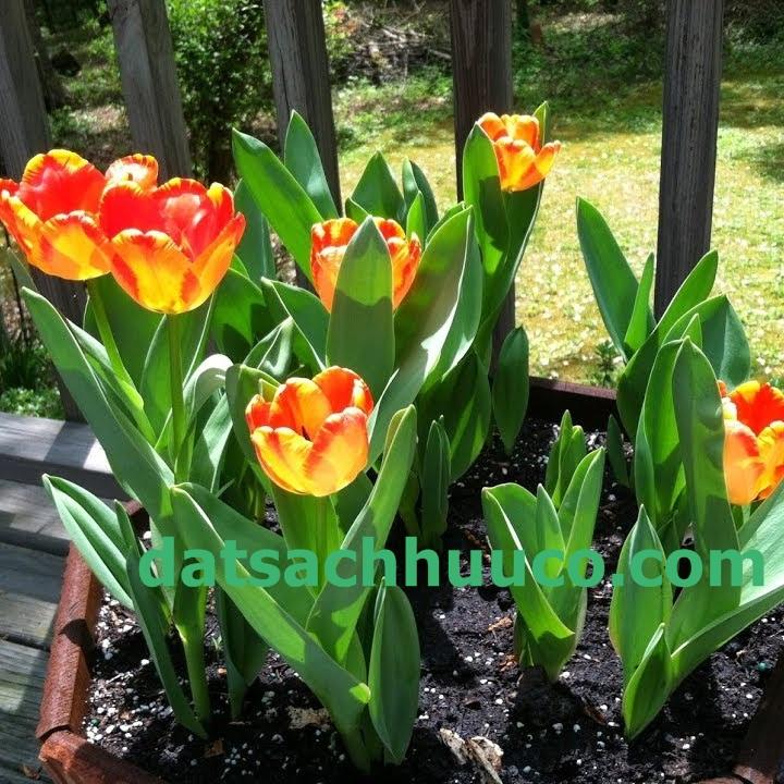 Trồng và chăm sóc hoa Tulip chơi Tết với đất sạch hữu cơ