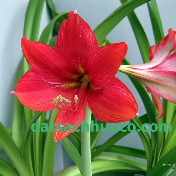 Cách trồng và chăm sóc hoa lan huệ trồng chậu với đất sạch Namix