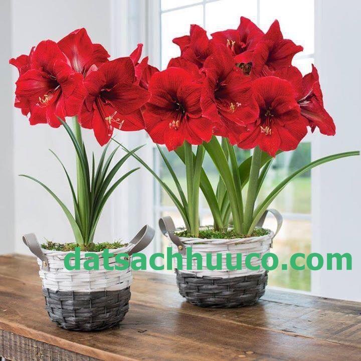 Cách trồng và chăm sóc hoa lan huệ. Đất sạch trồng hoa Namix