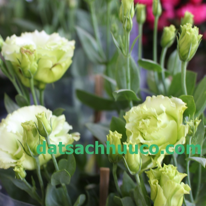 Cách trồng hoa cát tường. Đất sạch trồng hoa Namix