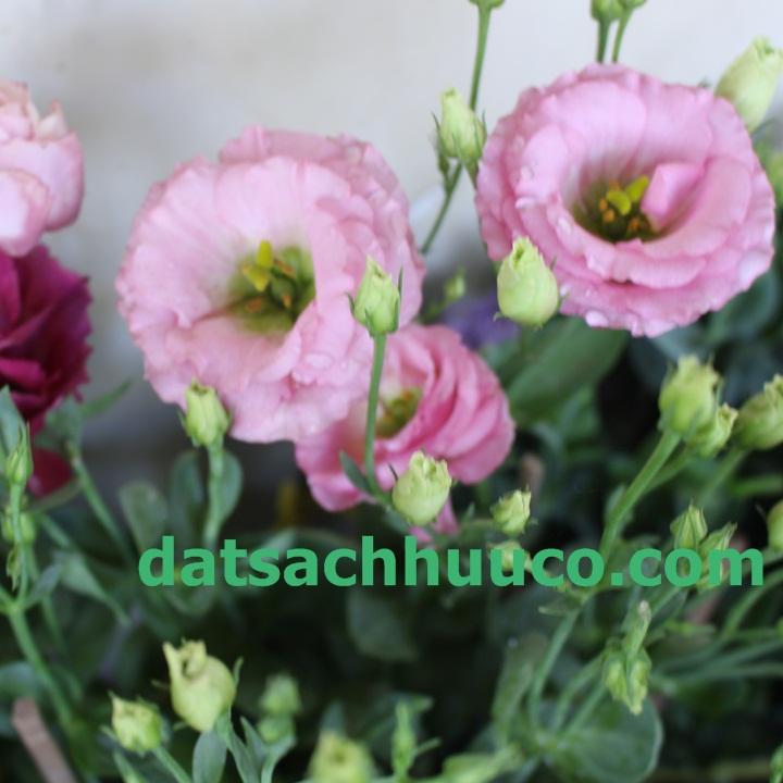 Cách trồng hoa cát tường và chăm sóc