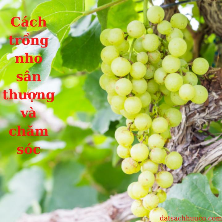 Cách trồng nho sân thượng và chăm sóc ra nhiều quả