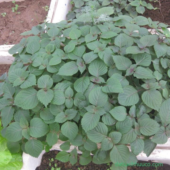 Cách trồng rau tía tô trong thùng xốp đơn giản