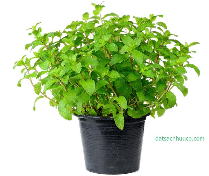 Cách trồng cây bạc hà và cách chăm sóc