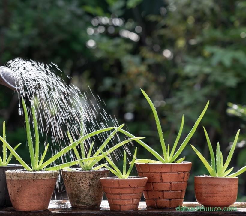 Cách trồng cây nha đam từ cây con và chăm sóc