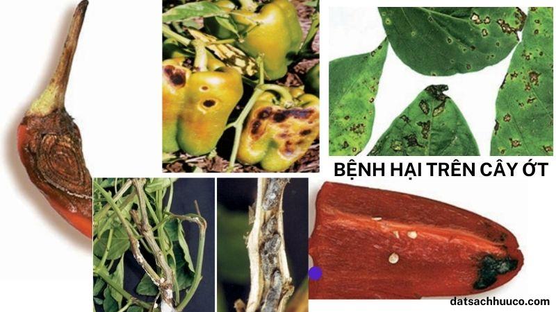 Các bệnh hại trên cây ớt và cách phòng trừ