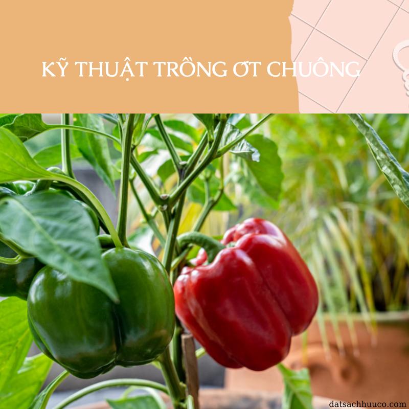 Kỹ thuật trồng ớt chuông và chăm sóc đơn giản tại nhà
